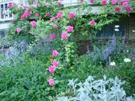 Zepherine Drouhin climbing rose with Walker's Low nepeta.