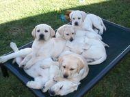 Sadie and Baron puppies