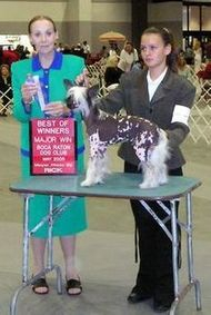 extreme Chinese Crested