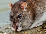 rat control in suffolk