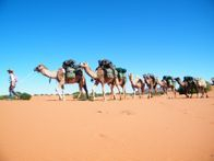Camel Trekking Holidays Camel Safari Camping. Flinders Ranges, South Australia