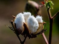 organic cotton farm, sustainable agriculture