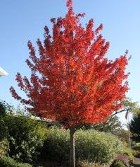 Acer Rubrum Red Maple are still legal and are not invasive. The show beautiful reds, orange and yellow in the fall.