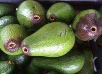 avocado to freshen