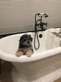 Aussiedoodle in the Bathtub