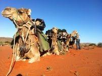 Camel Trekking Safaris. Flinders Ranges. South Australia, Outback Australian Camels