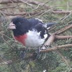 Red Breasted Grosbeak, travel through in the Spring and Fall
