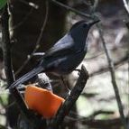 Catbird on Oranges