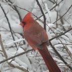 Cardinals - they stay year round!