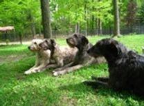 2008 Irish Wolfhound Backyard Training Drill