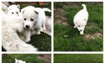 WHITE SIBERIAN HUSKY PUPPIES