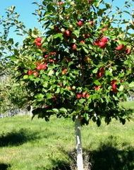 Apple Trees - We stock many including the most popular verities Macintosh, Honey Crisp, Johnathan, Delicious, snow sweet