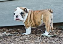 amazing english bulldog