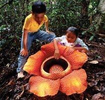 rafflesia arnoldii rainforest