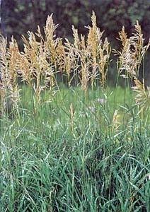 Smooth Bromegrass | Seeds | Deer Creek Seed  |Smooth Bromegrass Seed