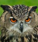 Rocky, European eagle owl