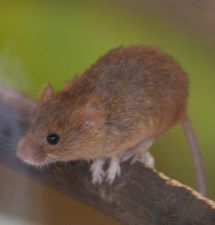 mouse control ipswich