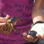 Crabs found at the beach behind the One room Schoolhouse