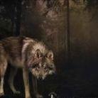 Lola American wolfdogs at honiahaka