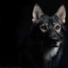 Kootz wolfdog model