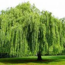 Weeping Willows thrive in wet areas and make for scenic and wonderful shade.