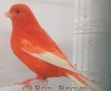 Red Factor Canary - Pet Bird