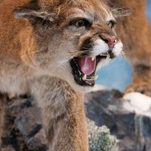 Alberta Taxidermy full mount cougar