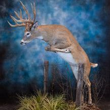 Alberta Taxidermy full mount whitetail