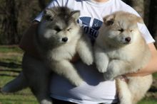 Cheyenne and Orecks pups 2016