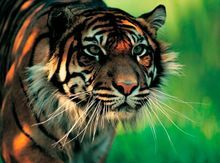 certified palm oil free for tigers