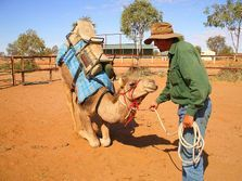 Russell Osborne training camels. Outback Australian Camels Camel Expedition Course