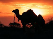 South Australian Camel Safaris, tours, treks, trekking holidays, expeditions, camel training, Flinders Ranges
