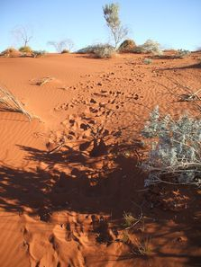 Tracks. Camel Tracks in the desert sands. Outback Australian Camels Safaris Treks, Tours and Trekking Expedition Campig Holidays.