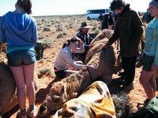 School Camel Trekking Camps. Outback Australian Camels, Flinders Ranges, South Australia.