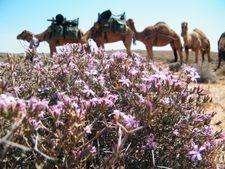 Camel Trekking in the Australian Desert. Outback Australian Camels Safaris, Treks Tours and Camel Expedition Training, Australia.