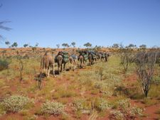 Desert Expeditions and Safaris. Outback Australian Camels. Camel trekking at its best.