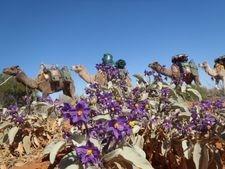 Unbelievable Scenery, Outback Australian Camels, Camel Tracks, Flinders Ranges Australia