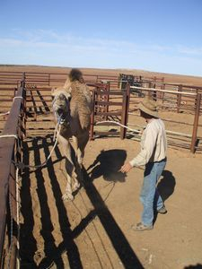 Camel Training. A wild camel in training to become a domesticated working camel.