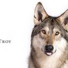 Troy American Wolfdog