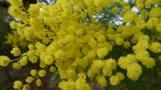 Wattles are spectacular in flower