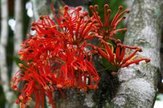 Firewheel trees are a great specimen tree