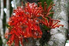 Firewheel trees are a great specimen tree
