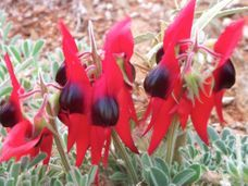 Sturt desert peas are rare plants in Qld with many people never seeing them in person.
