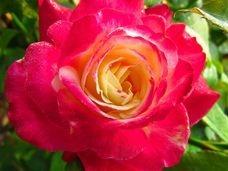 Amazing range of roses available