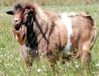 Chrome our fainting goat buck