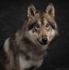 Lola American Wolfdog