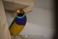 Photo of Gouldian finch