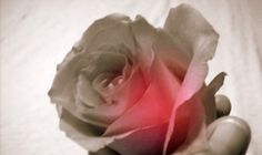 rose flower, funeral , rosebud hadleigh