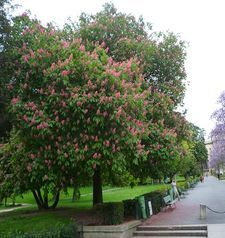 "src=""australian womens travel.jpg alt=womens travel,flowering chestnut trees , paris france """
