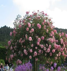 "ours.jpg alt=womens travel, pretty pink flowers, monets garden, giverny, france"">"